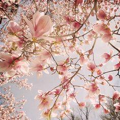 Pretty pink magnolias