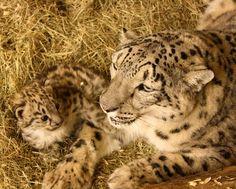bebeh snow leopard!