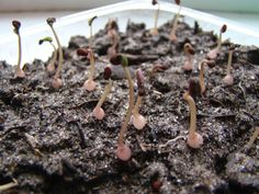 cyclamen seeds | Cyclamen persicum Last Autumn I picked up some seeds of my only ...