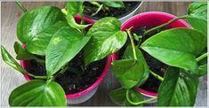 Si tienes estas plantas en tu casa todo lo que debes hacer es cuidarlas porque son consideradas para los creyentes de la medicina naturista como un tesoro
