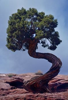 Tree - Dead Horse Point, Utah Kodachrome 64 - lens June, 1981 This twisted tree looks big, but is only 1 meter tall. Trees And Shrubs, Trees To Plant, Weird Trees, Foto Fantasy, Plantas Bonsai, Twisted Tree, Magical Tree, Unique Trees, Old Trees
