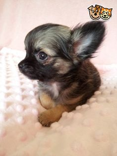 VERY pretty wolf sable Chihuahua...ideal next dog second only to a longhaired blue