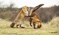 """""""Smell my arse"""" 2019 Finalists :: Comedy Wildlife Photography Awards - Conservat. - """"Smell my arse"""" 2019 Finalists :: Comedy Wildlife Photography Awards – Conservation through C - Wild Life, Funny Animal Photos, Funny Photos, Funny Animals, Funniest Photos, Animals Photos, Wild Animals, Photography Essentials, Photography Awards"""
