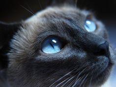 Siamkatze – Eine elegante Augenweide - Seite 5
