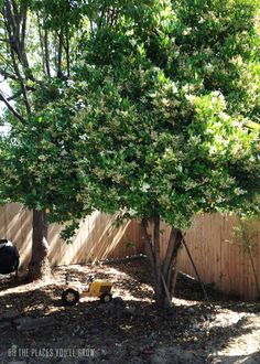 Mock Orange Tree | mock-orange-tree.jpg