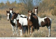 Wild horses | wild horses amargosa desert nevada.  /Absolutely love this, love the Paints EL./