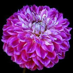 Optic Illusion - Novelty Dahlia, purple, lavender and white