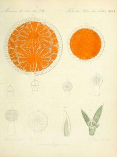 1837 - Ueber den Pollen - Author: Fritzsche, Carl Julius