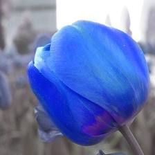 My sister says they sell blue tulip bulbs in Amsterdam. Blue Tulips, Tulips Flowers, Pretty Flowers, Beautiful Roses, Beautiful Gardens, Magical Gardens, Outdoor Plants, Outdoor Gardens, Outdoor Spaces