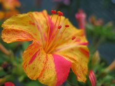 Mirabilis Jalapa. Four o'clock flower or Marvel of Peru. | by cheryldecarteret