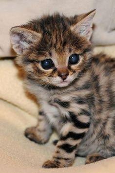 Brookfield Zoo's Black-footed Kitten