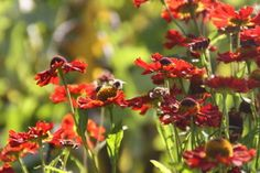 Garden planting at RHS Harlow Carr, Harrogate North Yorkshire, beautiful border planting, deep red orange helenium.