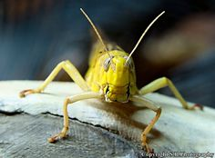 Desert Locust by Steve.B.Photography ©, via Flickr