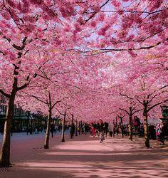 Cherry blossom Avenue in #Paris