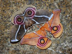 "Madagascan Emperor moths  (Suraka Silk Moth, Madagascan Bulls Eye Silkmoth) Antherina suraka (Saturniidae) is a medium sized beautiful silkmoth colored with brown forewings and huge ""bulls eye"" markings on the hindwings. Both, male and female are similar in size (100-130mm of wingspan), however, as seen in the photo, there are differences in coloration between male (below) and female (above). These moths have been recently identified as a potential source for commercial wild silk production…"