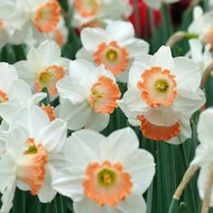 peach daffodils - Daffodils are wonderful in January and so if you fancy some white or yellow these are an excellent flower to consider for your winter wedding. They also come with touches of peach and orange. seasonal wedding bouquet florals. Don't forget they are also the national flower of Wales!
