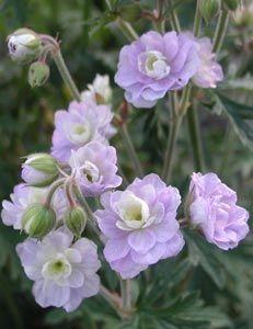 so, blüht 6 - 8, 60 cm hoch,  Geranium pratense 'Summer Skies' ® - Gefüllter Wiesen-Storchschnabel