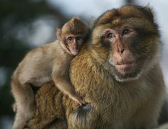 Endangered Barbary Macaque Monkey