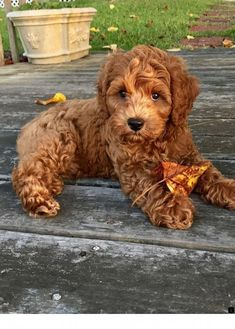 Good Photo dogs and puppies labradoodle Popular Carry out you adore your canine? Suitable dog health care in addition to exercisi Chien Goldendoodle, Cavapoo Puppies, Maltipoo, Puppies Puppies, Puppys, Cute Dogs And Puppies, I Love Dogs, Doggies, Cute Baby Animals