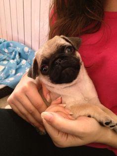 My Pug, Percy <3