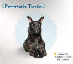 The Patterdale Terrier gets his name from a small village in the Lake District of Cumbria in Northwest England, where he comes from.  His exact origins are unknown, but Lakeland, Border and Bedlington terriers were all used in developing the breed.