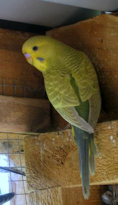 An Olive Cinnamon Greywing - its grey markings have a brownish tint, it has the grey/blue tail of a Greywing with a brown quill of a Cinnamon. Blue Tail, Budgies, Beautiful Birds, Parrot, Cinnamon, Quill, Animals, Rainbow, Yellow