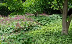 Der Storchschnabel (Geranium macrorrhizum 'Ingwersen') und der ausläufertreibende Ysander (Pachysandra terminalis) bilden schnell dichte Bestände und ergänzen sich großartig
