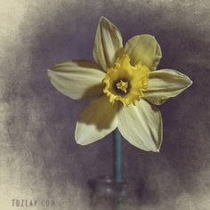 """Lonely Narcissus - From a series of """"Minimalism on the table"""" (2017)"""