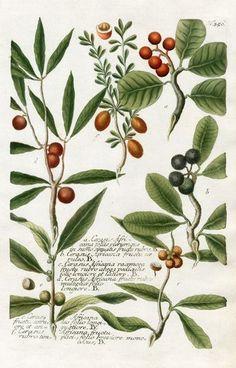 petitcabinetdecuriosites: (via Johann Weinmann Botanical Prints 1737 | A)