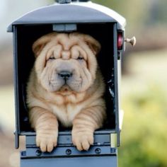 The kind of mail; I wanna receive a shar pei. Shar Pei Puppies, Cute Puppies, Dogs And Puppies, Poodle Puppies, Cachorros Shar Pei, Jack Russell Terrier, Wrinkly Dog, Pet Dogs, Dog Cat