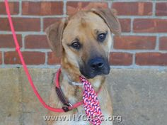 URGENT! THIS DOG WILL BE EUTHANIZED UNLESS A HOLD IS PLACED ON HIM BY NOON EST 6/28/14.  LOG IN TO THE AT RISK LIST TO PLACE A HOLD AND SAVE A LIFE.  http://nycacc.org/PublicAtRisk.htm     Brooklyn...  My name is ROCKY. My Animal ID # is A1003390. I am a neutered male brown and black germ shepherd and st bernard mix.  The shelter staff think I'm about 3 years old.