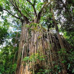 Located just outside the Curtain Fig Tree is a must stop in Photo by Atherton Tablelands, Tree Sculpture, Fig Tree, Sunshine State, Capital City, Places Ive Been, Stuff To Do, Flow, Places To Visit