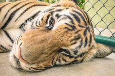 Tiger Tempel Thailand