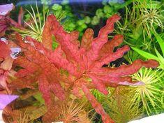 Ludwigia inclinata red Freshwater Aquarium Plants, Tropical Freshwater Fish, Live Aquarium Plants, Planted Aquarium, Live Plants, Aquascaping Plants, Fish Tank Design, Indoor Water Garden, Aquatic Plants