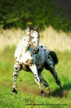 Running Appaloosa horse. #Cowgirls