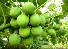 Pregon Agropecuario :: JATROPHA: LA GRAN PROMESA VERDE PARA EL BIODIESEL - Energía - Biocombustibles