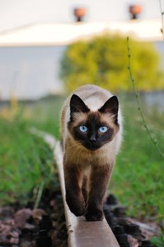 Siamese Cats Sealpoint Berries of the Growing Bush (Berries) ~ Tom ~ Can be Snobby ~ Prankster ~ Adventurous ~ Teases Ocean ~ No Mate/Kits ~ Crush:None ~ 16 Moons ~ Cute Cats And Dogs, I Love Cats, Crazy Cats, Cool Cats, Pretty Cats, Beautiful Cats, Animals Beautiful, Cute Animals, Pretty Kitty