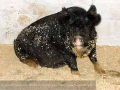 Delilah on her farrowing bed of wood shavings.