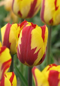 Tulp Helmar