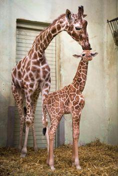 14. Februar 2014, #Hessen: Muttertier Monique kümmert sich im #Zoo von #Frankfurt am Main um ihr noch namenloses Junges, das am 04. Februar dieses Jahres geboren wurde. Die kleine #Giraffe ist ein männliches Tier. (Foto: dpa)