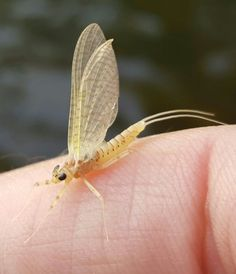 Cream Cahill Best Trout Flies, Fly Fishing, Fishing Stuff, Aquatic Insects, Animal Science, Fly Tying, Fish Recipes, Fish Food, Salmon