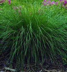 Prairie Dropseed Grass zones 3-9. 1-2' tall emerald green