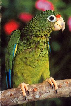 Puerto Rican Parrot (Critically Endangered - 34 to 40 Individuals In The Wild… Puerto Rico, Puerto Rican Culture, Rare Birds, Tropical Birds, Fauna, Endangered Species, Bird Watching, Beautiful Birds, Beautiful Creatures
