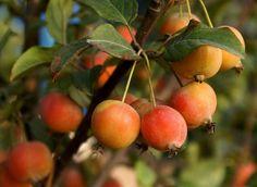 Heirloom 20 European Crab Apple Seeds Malus by seedsshop on Etsy, $1.79