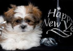 Year End Wrap Up!, Peoria, AZ - Arrowhead Pooper Scoopers  |Shitzu Puppies New Years Eve