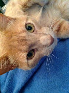 Nyc Ny Turkish Angora Meet Suzy A Kitten For Adoption