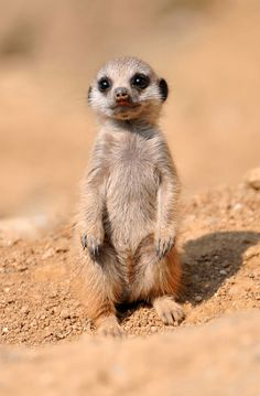 Baby meerkat. Can I get a squee?
