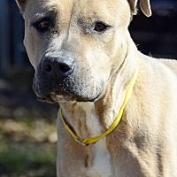 Pictures of SKYE a Pit Bull Terrier for adoption in LAFAYETTE, LA who needs a loving home.