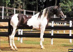 o cavalo de sela brasileiro