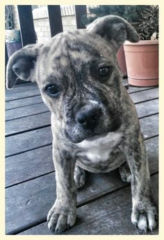 Reverse Brindle Pitbull Puppy (Shelby) - Tap the pin for the most adorable pawtastic fur baby apparel! You'll love the dog clothes and cat clothes! <3